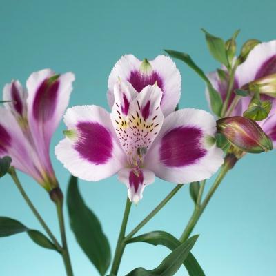 Bleik og lilla blóm image